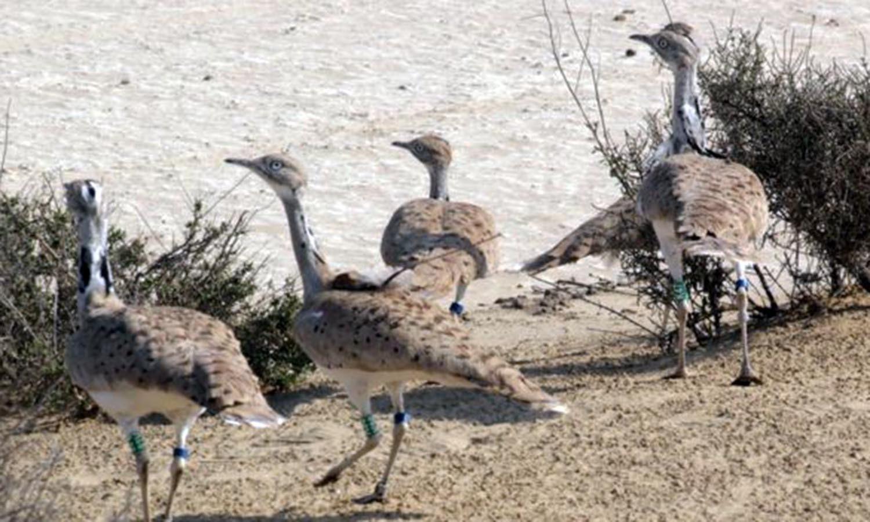 A flock of houbara bustards in South Punjab.