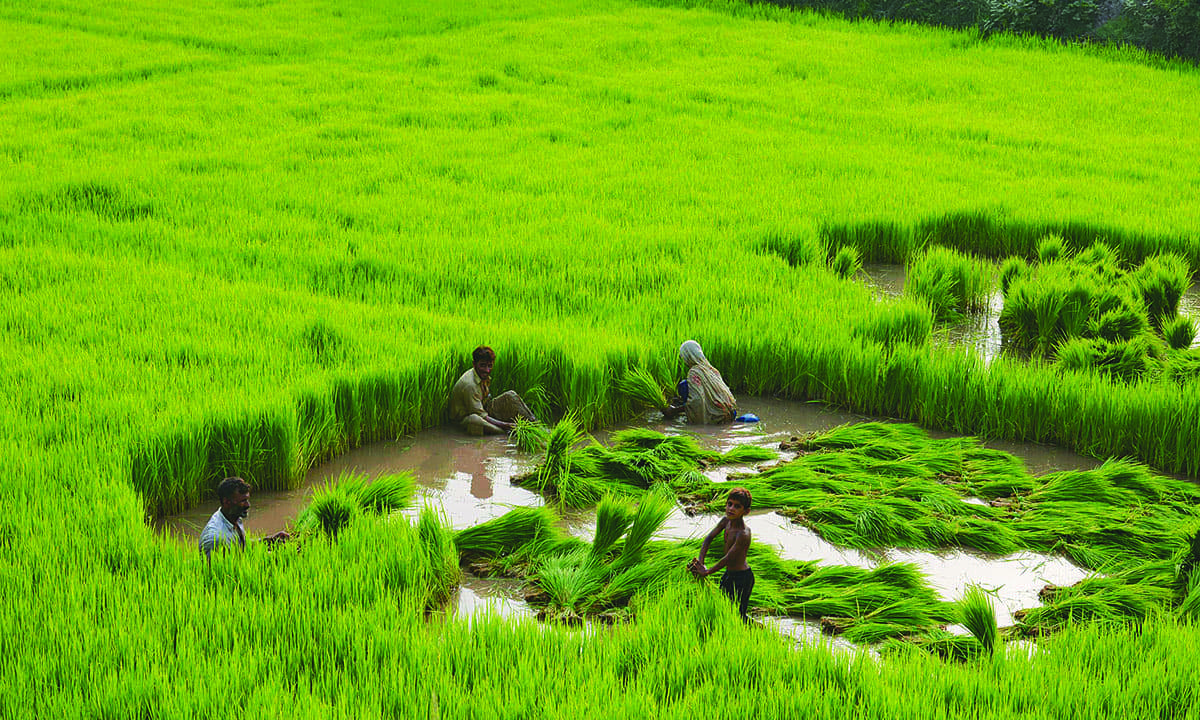 A rice paddy on the outskirts of Lahore | Tariq Mahmood, White Star