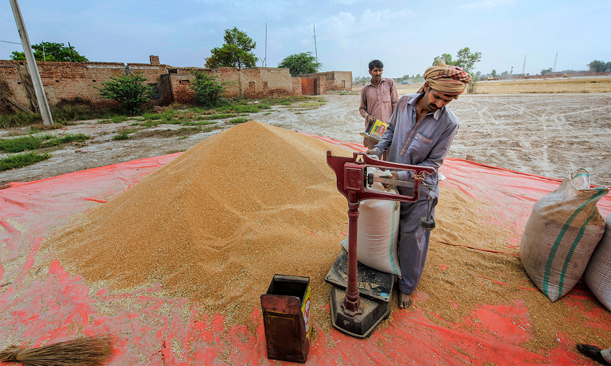 Harvested wheat being weighed and packed | Saad Sarfraz Sheikh