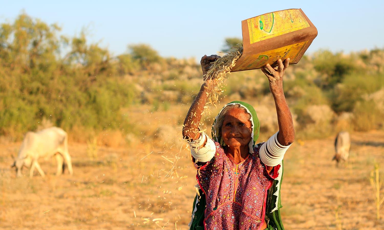 Ravi Meghwar separates the harvest.