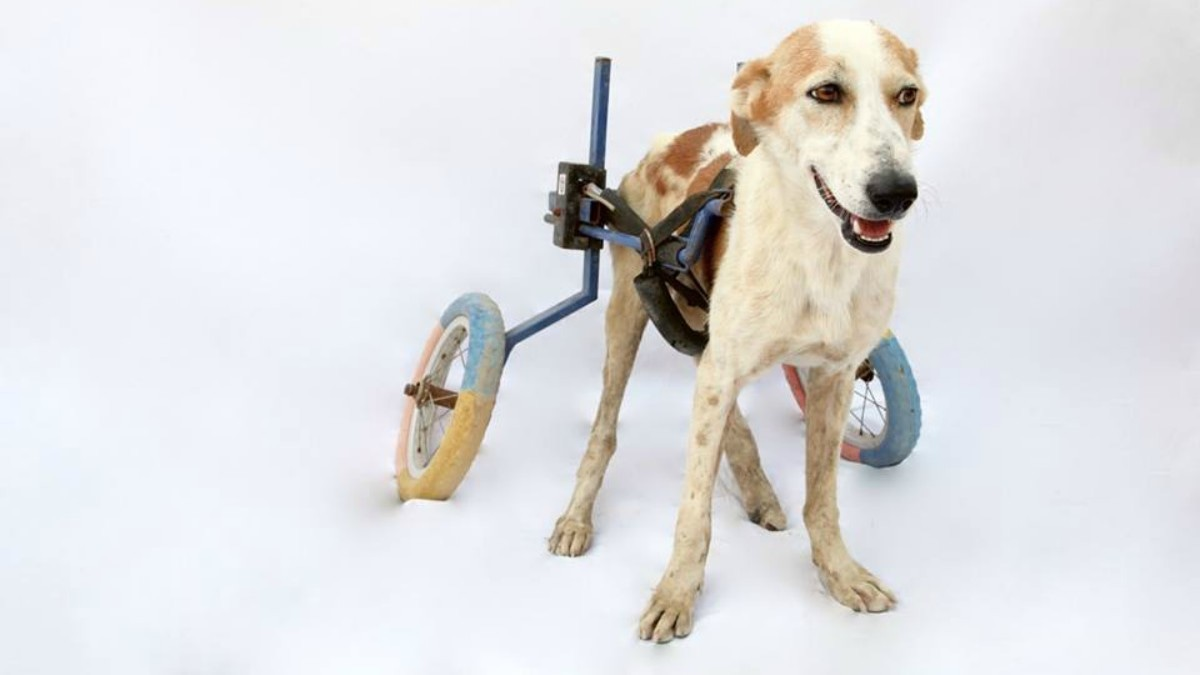 This is Zeus on her wheelchair.