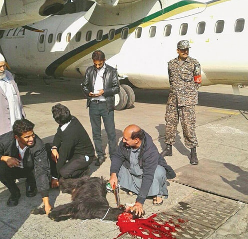 A GOAT being offered as a sacrifice (sadqa) before the take-off of a PIA ATR-42 aircraft on Sunday.—INP