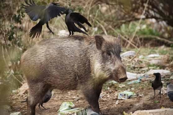 A wild boar in the hills of Islamabad.