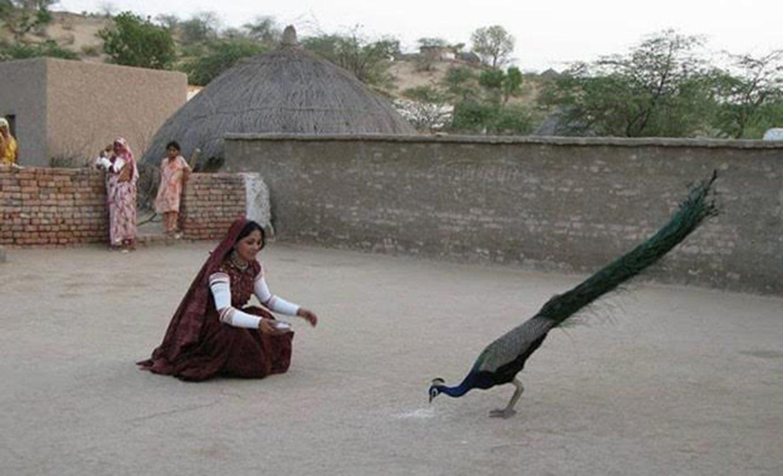 A village woman in Thar feeding a peacock. (Pic: Native Pakistan)