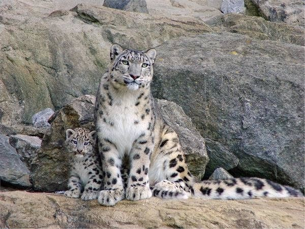 A snow leopard and her cub on a mountain at the foot of a village in Gilgit. (Pic: Wildlife of Pakistan)