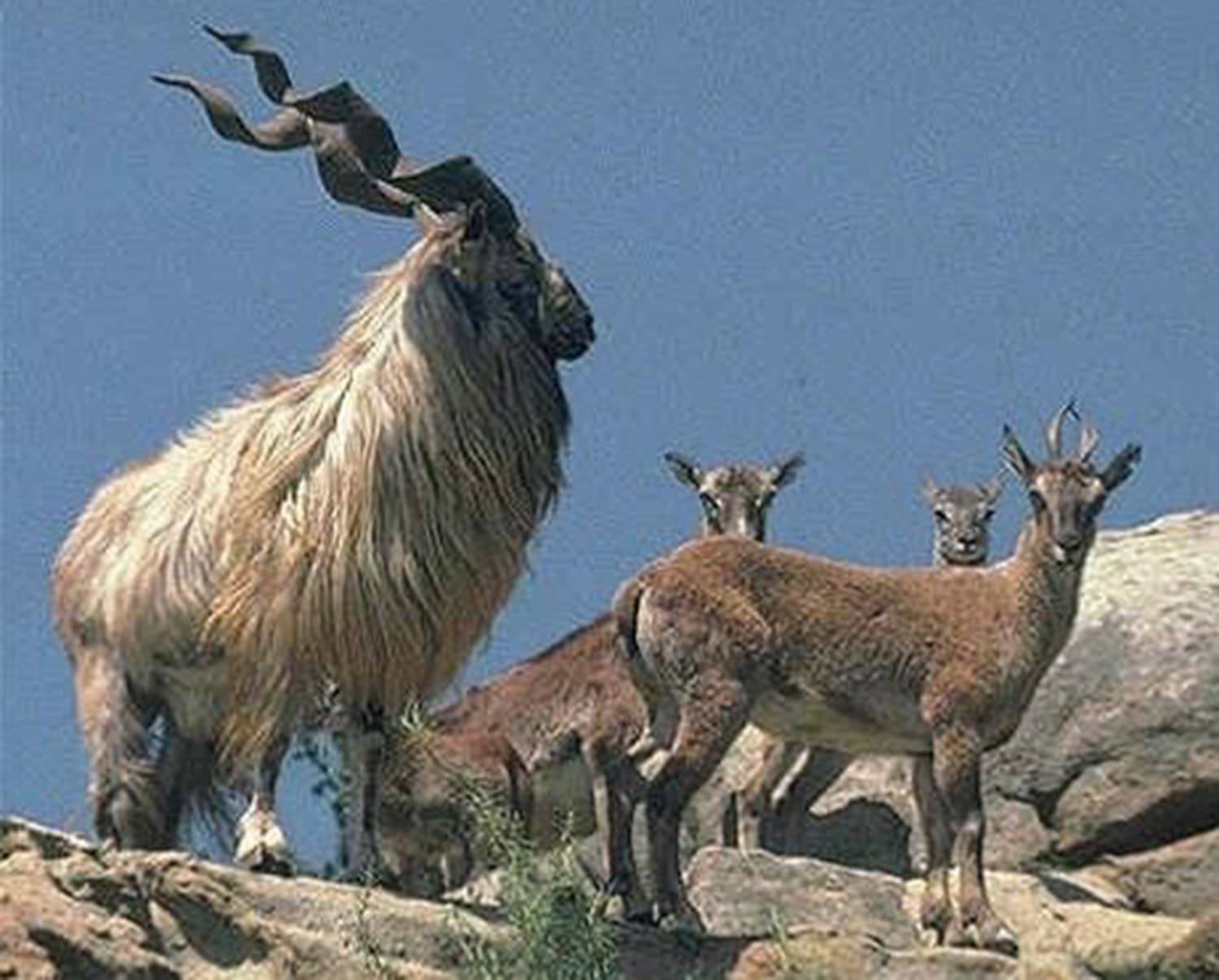 A markhor in Chitral. (Wildlife of Pakistan)