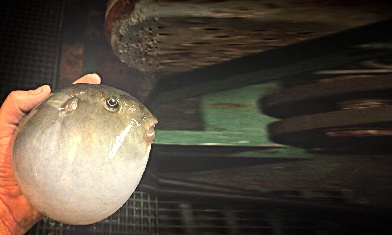 گول شکل کی نظر آنے والی یہ مچھلی کسی سیپی جیسی لگ رہی ہے، تاہم اس کی آنکھوں پر نظر ڈالیں تو معلوم ہو کہ یہ مچھلی ہے — فوٹو : بشکریہ رومان فدرتسو
