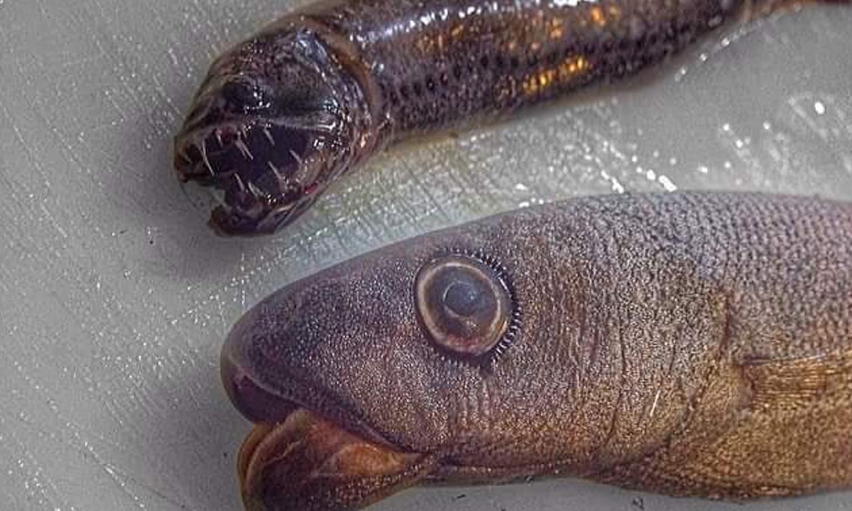 سمندر میں موجود کئی مچھلیاں سانپ جیسی دکھائی دیتی ہیں —فوٹو : بشکریہ رومان فدرتسو