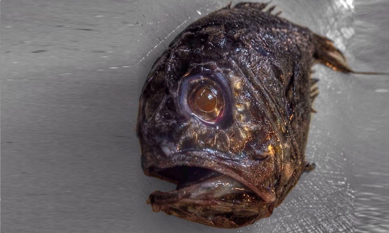 اس مچھلی کی خوفناک آنکھیں ہی کسی کو ڈرانے کے لیے کافی ہیں —فوٹو : بشکریہ رومان فدرتسو