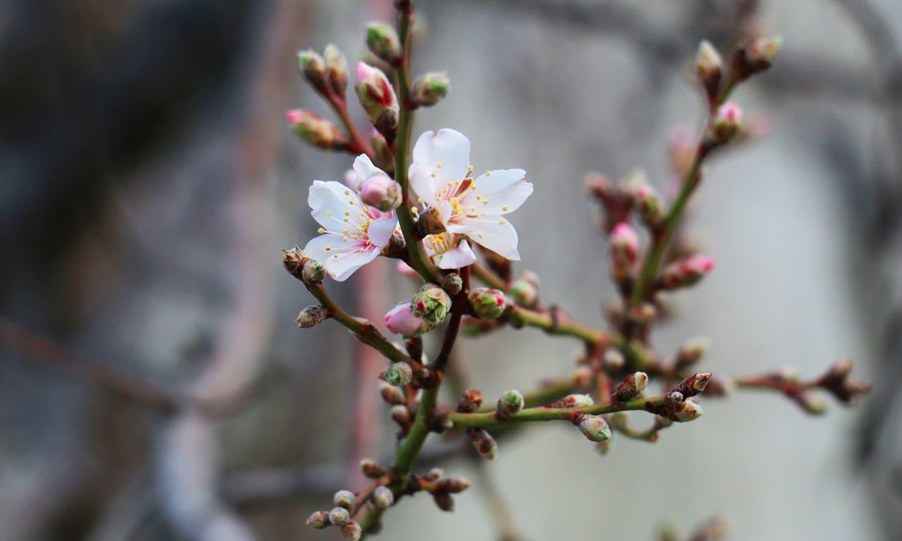 گلگت بلتستان، سردیوں میں کھلے پھول— نور پامیری