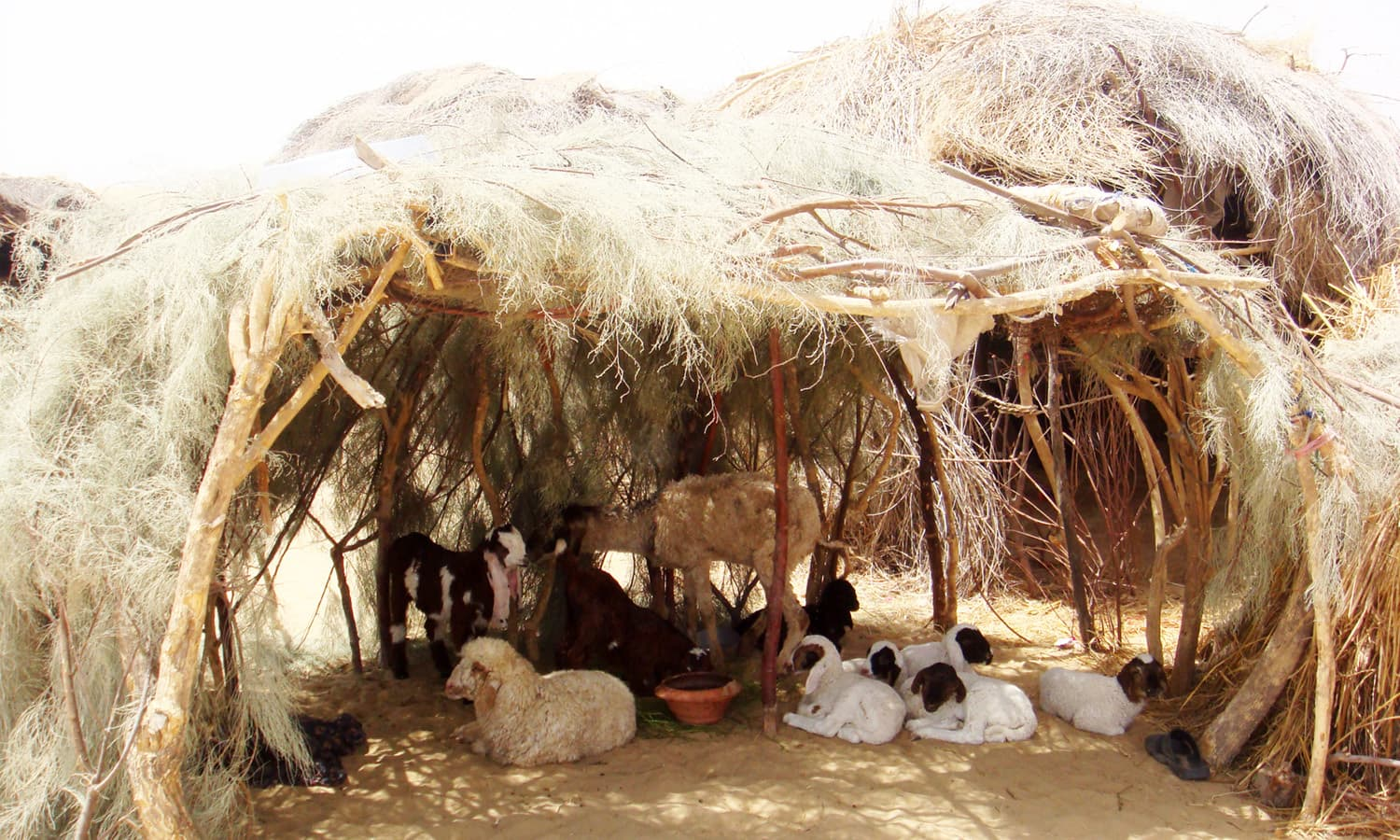 Cattle-rearing is often the sole source of livelihood for people in Cholistan.