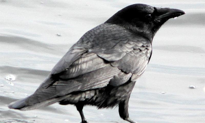 کوا 'کینہ' رکھنے والا پرندہ، تحقیق