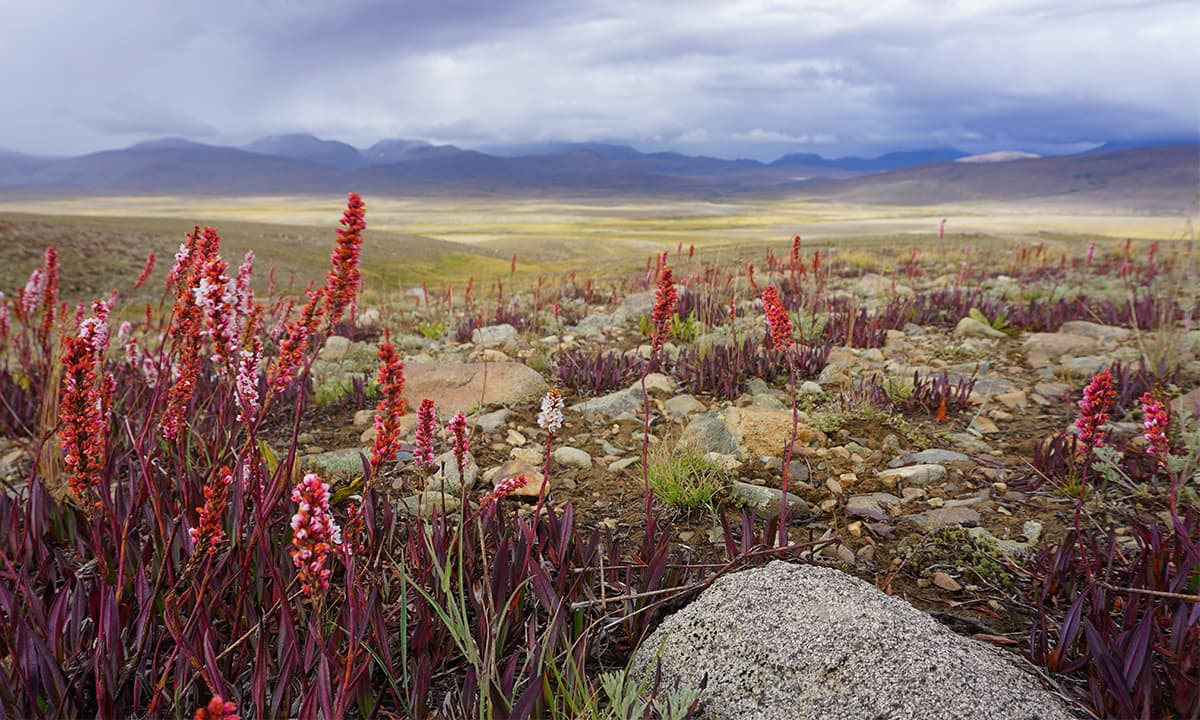 The Deosai plants, Gilgit-Baltistan