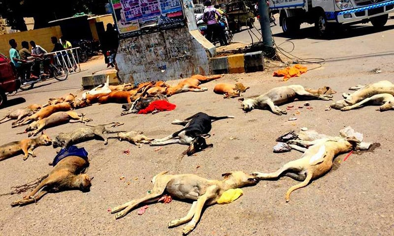 Dogs lie lifeless after authorities culled them in Karachi's Saddar area. ─ Photo by Syeda Rabab Jaffer