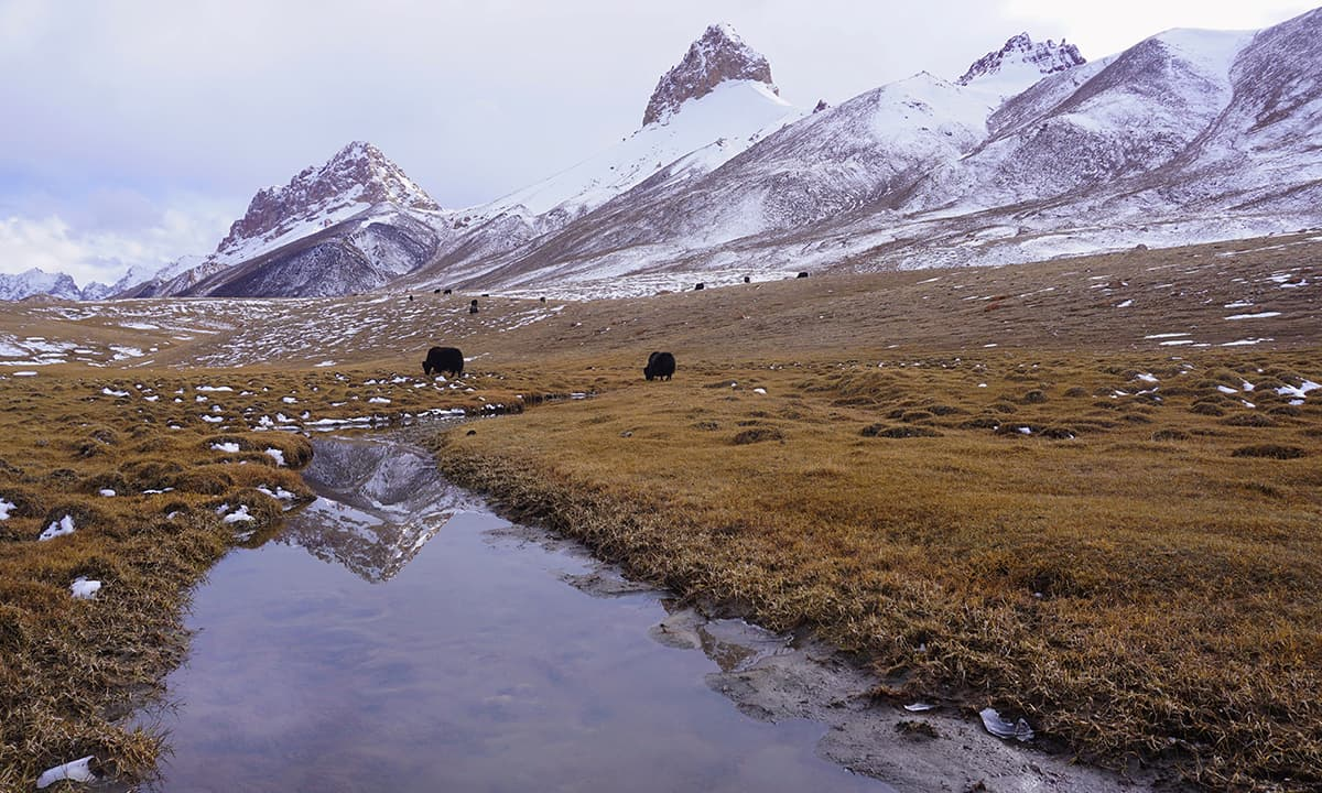 Yaks grazing in the high pastures of Shimshal Pass at 4735m