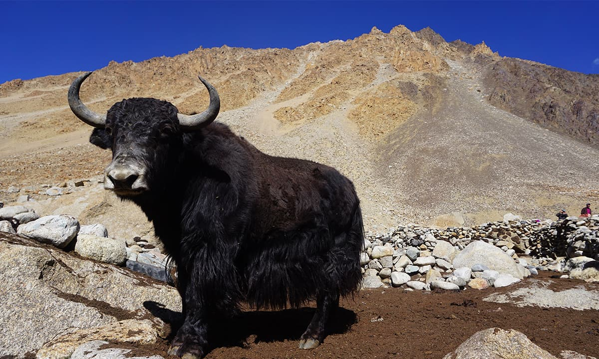 Yaks are being brought to the corral from the high pastures.