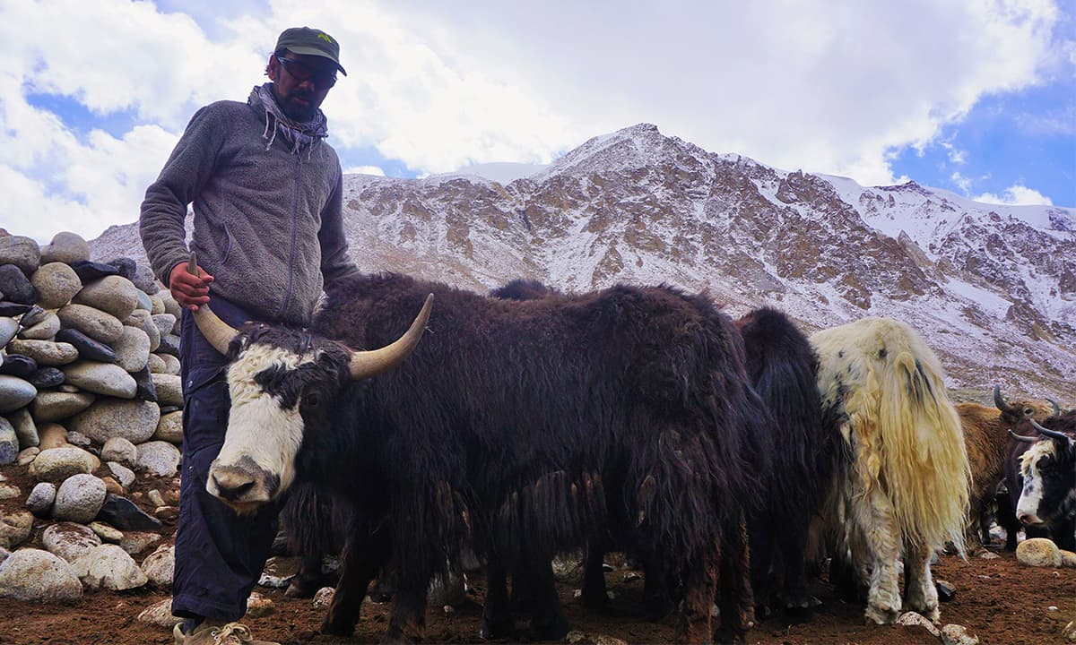 Niamat, our local guide, was able to identify his yaks in no time