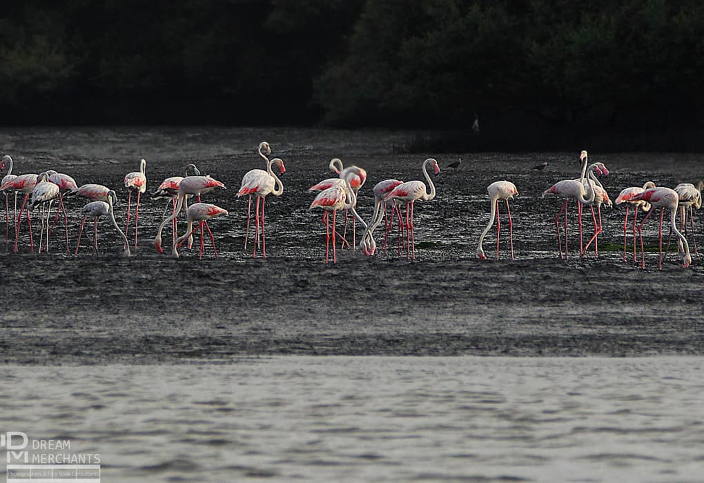 This flock of Greater Flamingos was photographed at Port Qasim in megacity Karachi. They are residents, and their number jumps from June to the end July when they start breeding. This photograph, taken around three years back, launched Beg into wildlife expeditions. Unfortunately, the large number of factories coming up around the port will pose a serious threat to the birds as polluted fumes are being spewed out daily and the mangroves in the area are in danger of being lost. Greater Flamingos eat shrimp from the creek, which gives them the pink tone