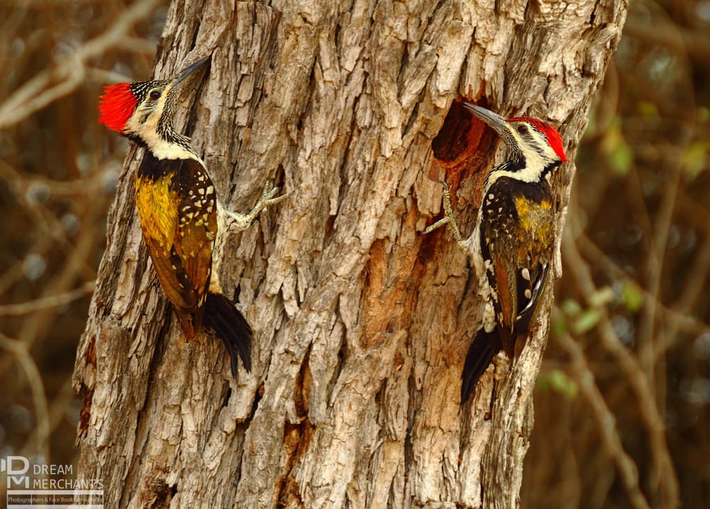 These Black Rumped Flameback Woodpeckers were building a nest off the Super Highway from Karachi to Hyderabad in Sindh, only about 20 km from the Karachi toll plaza. Beg has seen this bird in Mirpur Sakro and Haleji lake of Sindh as well