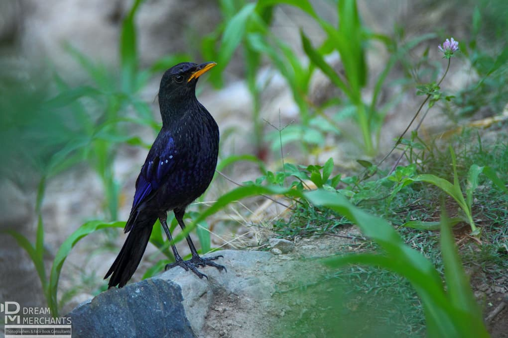 The Blue Whistling Thrush is a resident of Kashmir, where Beg photographed this bird on a riverbank