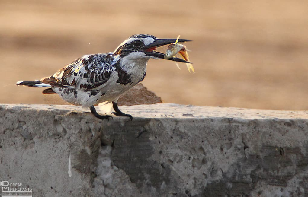 It is real fun to watch a Pied Kingfisher at work, Beg says. In Bhalwal, Sargodha district, he watched this bird hover over a small pond and then make a vertical dive on the target. Once he got the fish he sat and chewed for few moments, throwing it into the air and then swallowing it. There are four kinds of kingfisher in Pakistan – Pied, White Throated, Common and the rare Crested kingfisher. They can be seen all over the country, wherever there are ponds, rivers or canals