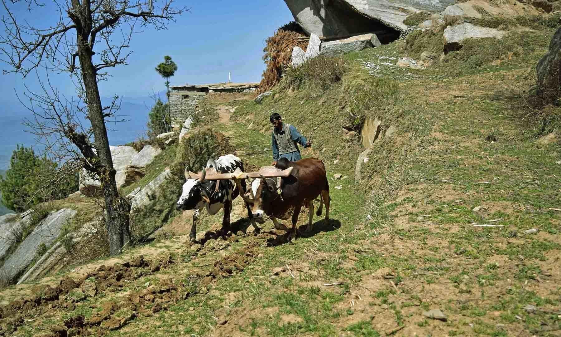 آج کے مشینی دور میں بھی سرے شاہ سر میں بیلوں کے ذریعے ہل چلایا جا رہا ہے— تصویر امجد علی سحاب