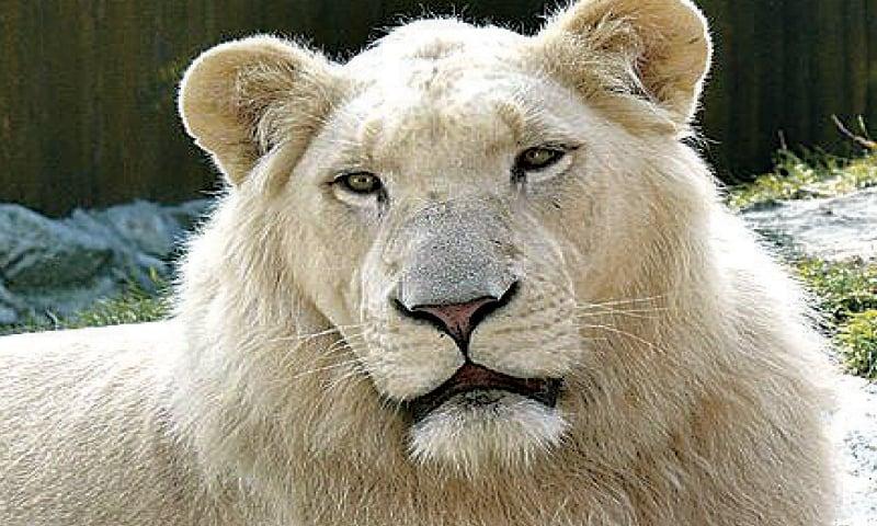 Lahore Zoo to buy white lions - Pakistan - DAWN COM