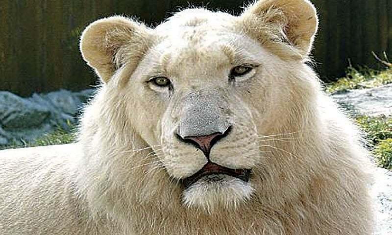 سفید شیر اپنی رنگت کی وجہ سے لوگوں کی توجہ اپنی جانب کھینچتے ہیں—فوٹو: ڈان نیوز