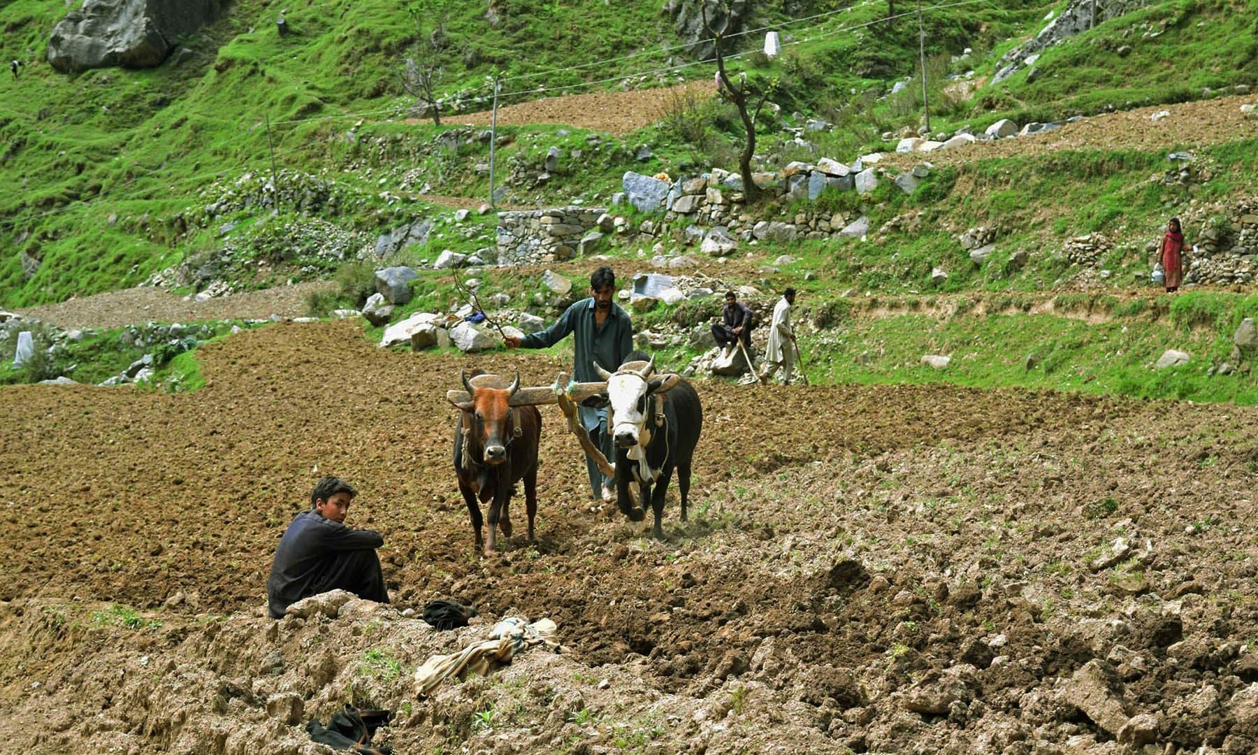 چاتیکل بانڈہ میں زمینوں میں ہل چلایا جا رہا ہے— تصویر امجد علی سحاب