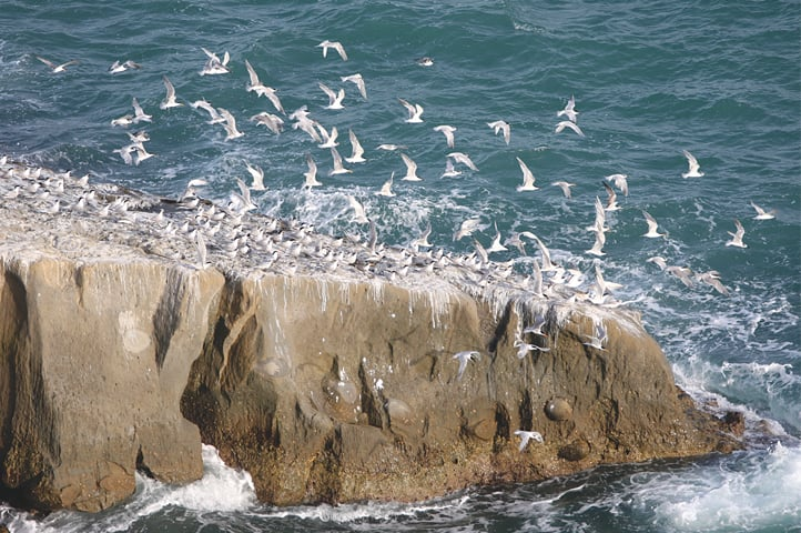 A large flock of greater crested terns at Astola island. The island is also known as Jezira Haft Talar (Island of the Seven Hills) because of the small, rocky mountains that stretch across the island.