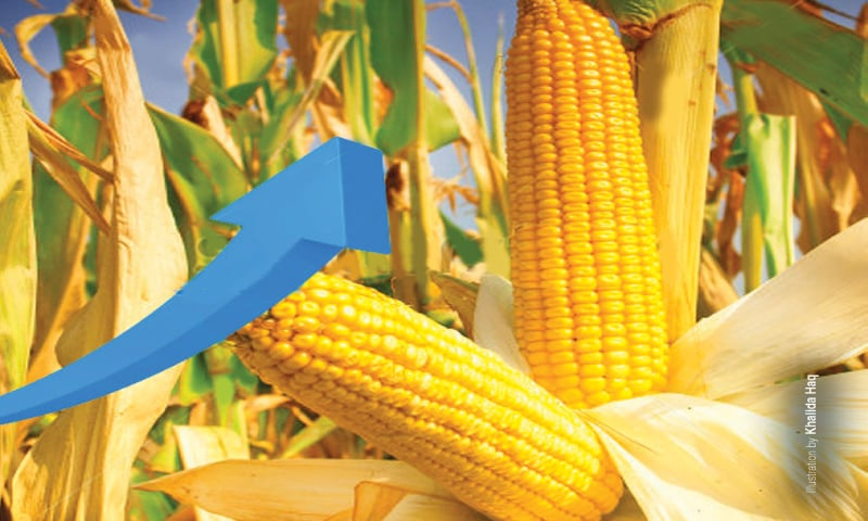 Capitalising on record maize production - Newspaper - DAWN COM