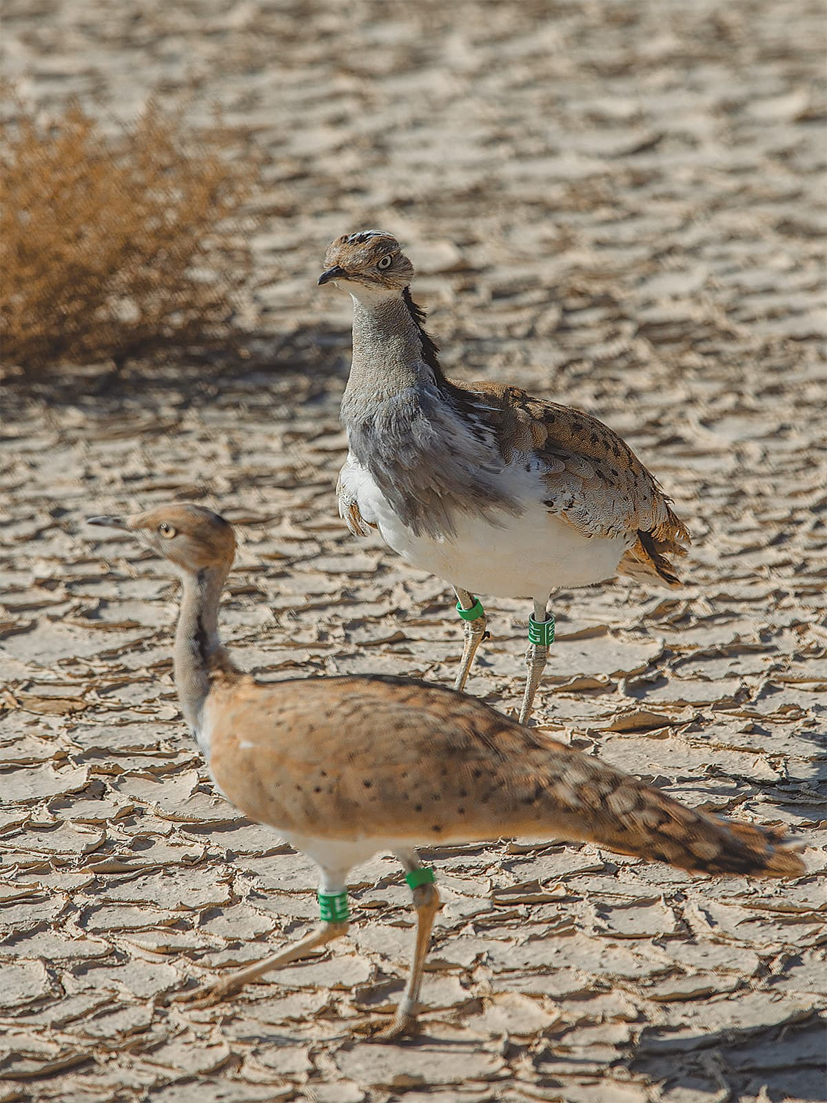 Green tags are used to identify houbara bustards bred in captivity | Mohammad Ali, White Star