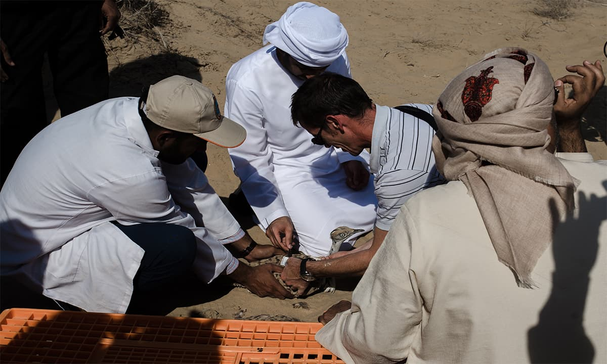 The IFHC research team strap a tracking device around a houbara bustard | Mohammad Ali, White Star