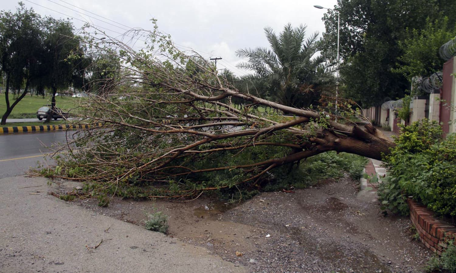 A view of a fallen tree due to heavy monsoon rain in twin cities of Rawalpindi and Islamabad.— Online