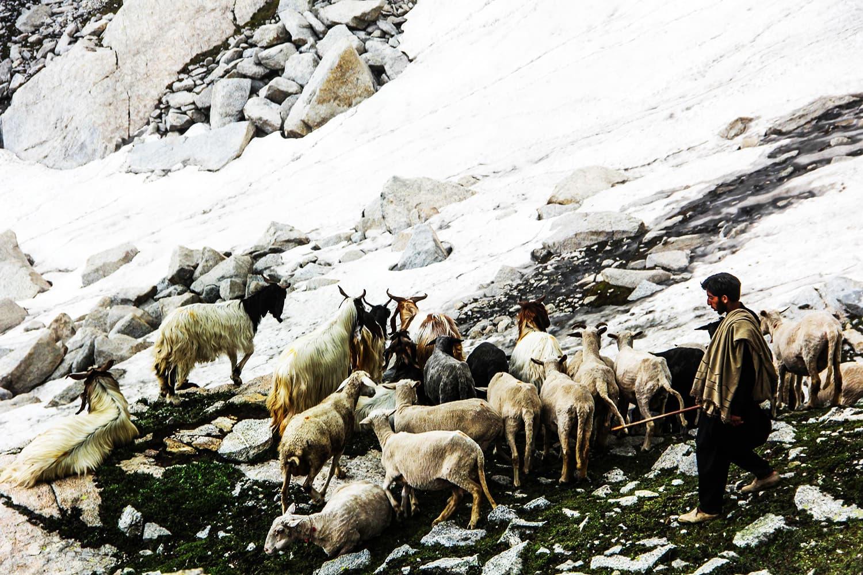 A shepherd takes his animals for grazing at one of the pastures around Saidgai Lake.—Fazal Khaliq