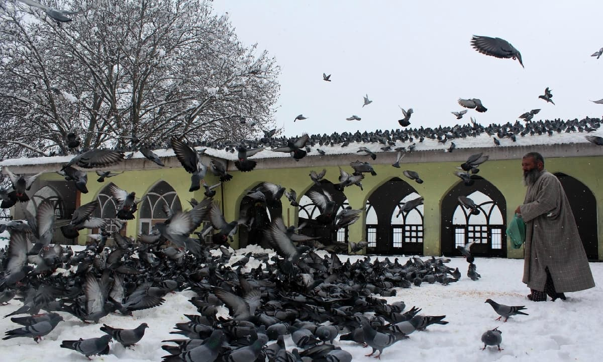 A Kashmiri man feeds pigeons in the compound of Makhdoom Sahib Shrine in the old city of Srinagar