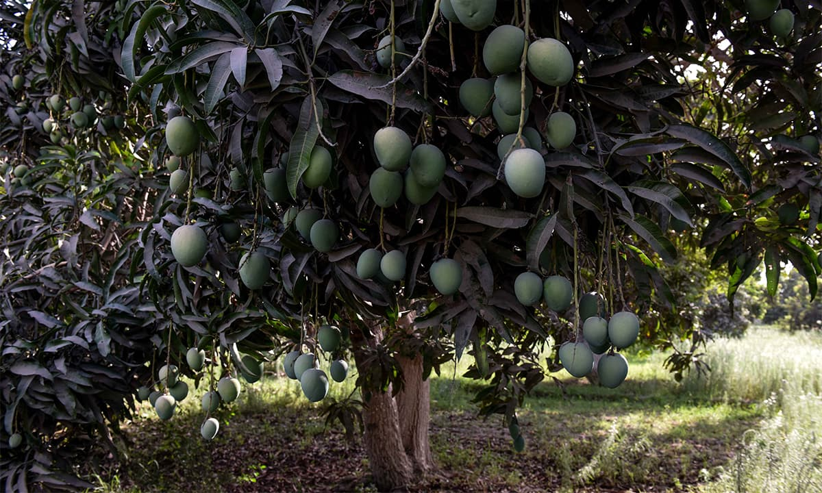 A mango tree at Sindh Horticulture Research Institute, Mirpurkhas | Photos by Tahir Jamal, White Star