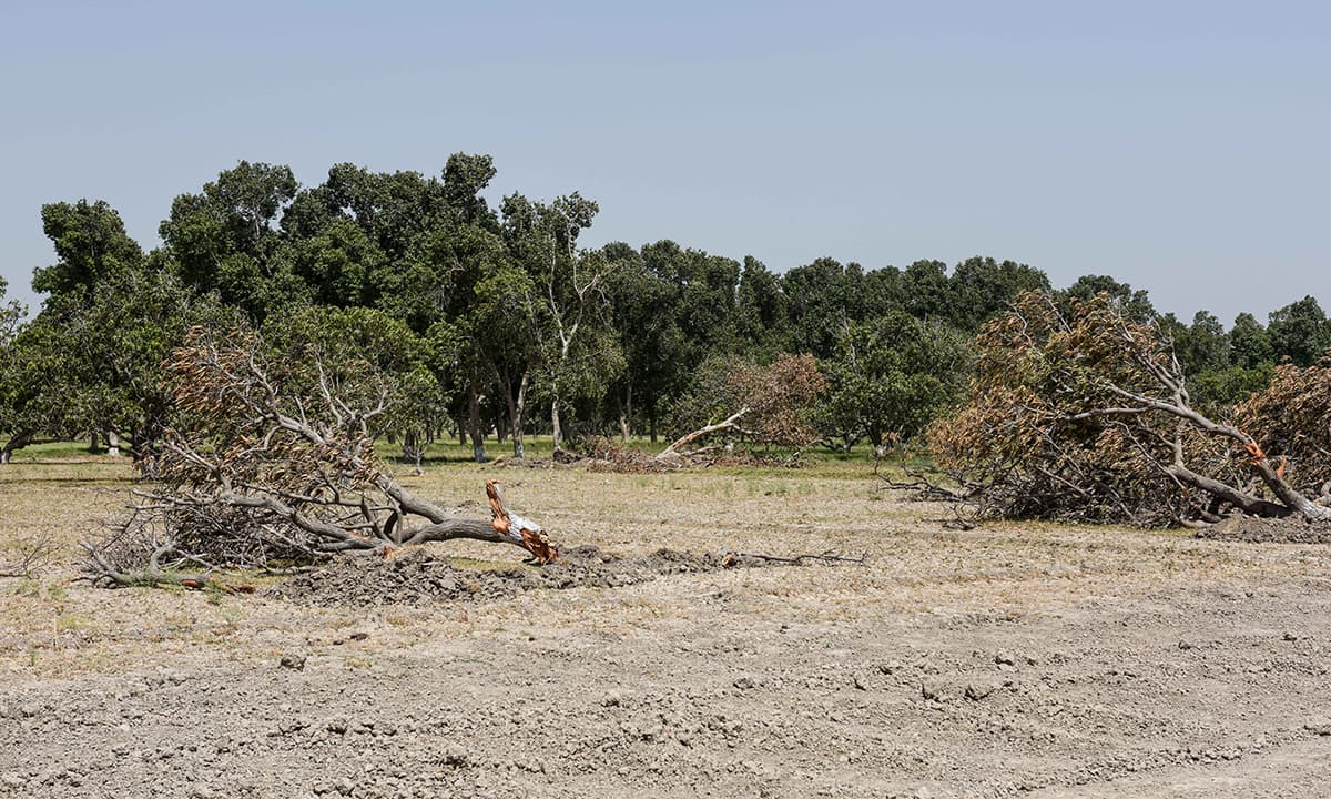 Uprooted trees at Sindh Horticulture Research Institute's seed farm in Mirpurkhas
