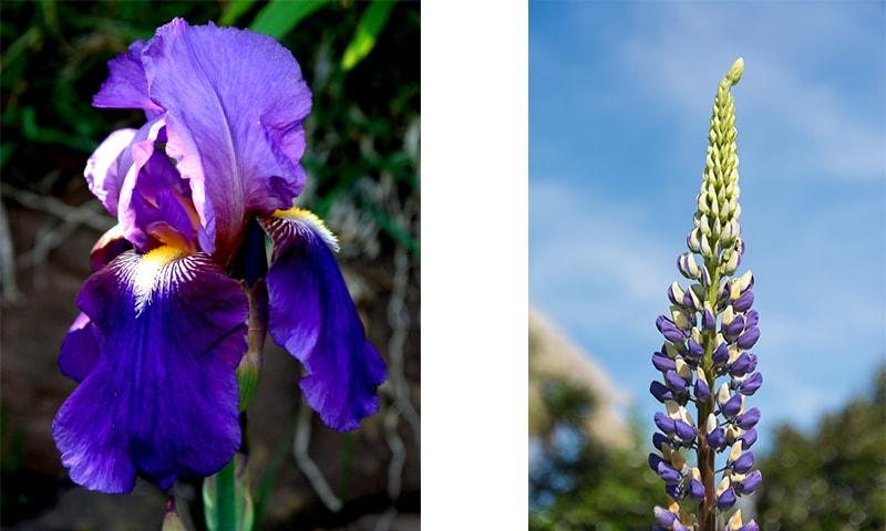 Bearded iris & Lupins