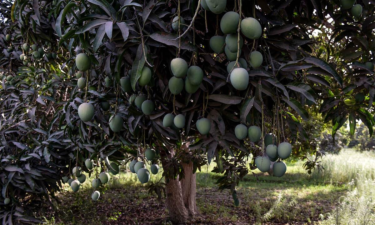 King of fruits: Sindh's best kept secret