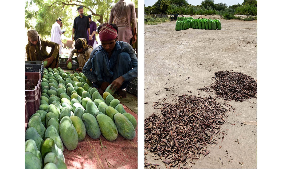 De-sapping of premium grade mangoes being carried out (left), mangoes being dried for making amchoor, a citrusy seasoning (right)