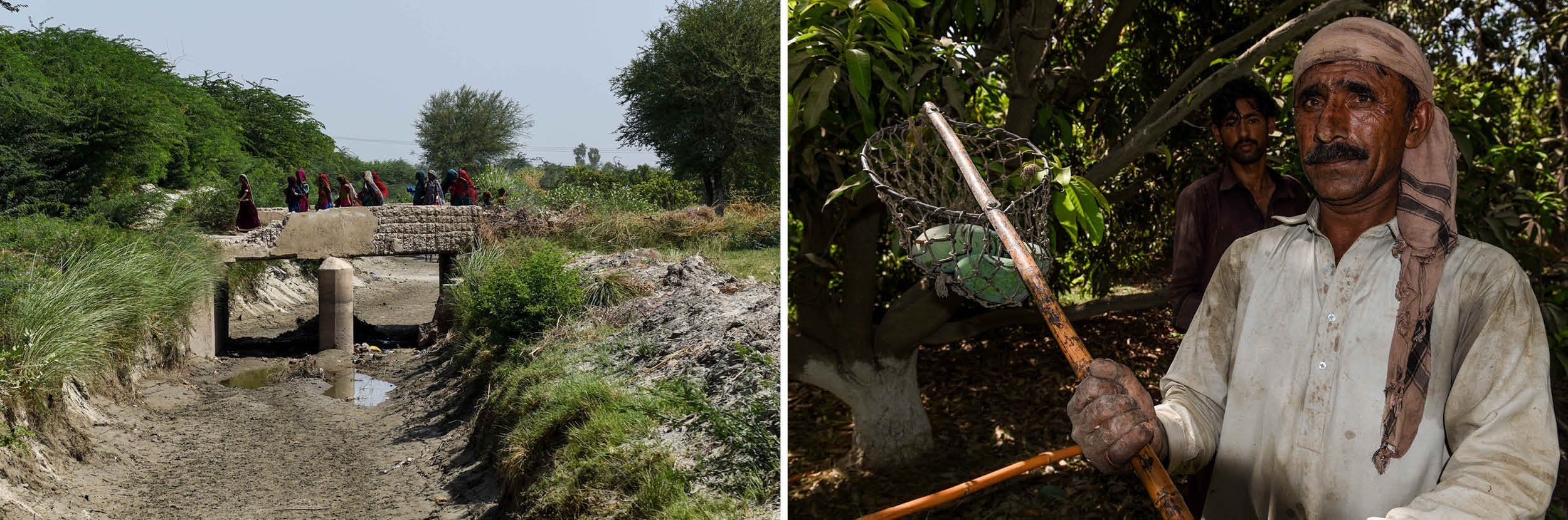 A dried up canal in Kot Ghulam Muhammad taluka, Mirpurkhas district (left), a seasonal labourer catches mangoes passed down by a picker on a tree at Kachelo Fruit Farms (right)