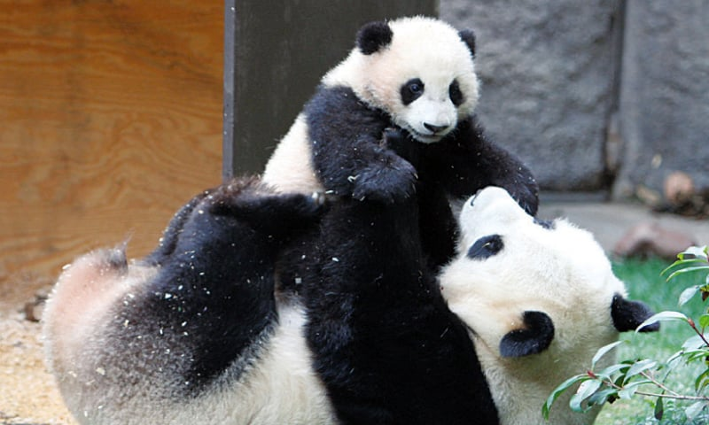 A 23-year-old giant panda is equivalent in age to an 80-year-old human. — File photo