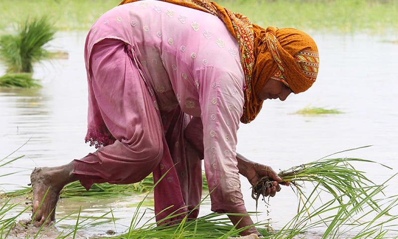 The stooped labour of women rice farmers