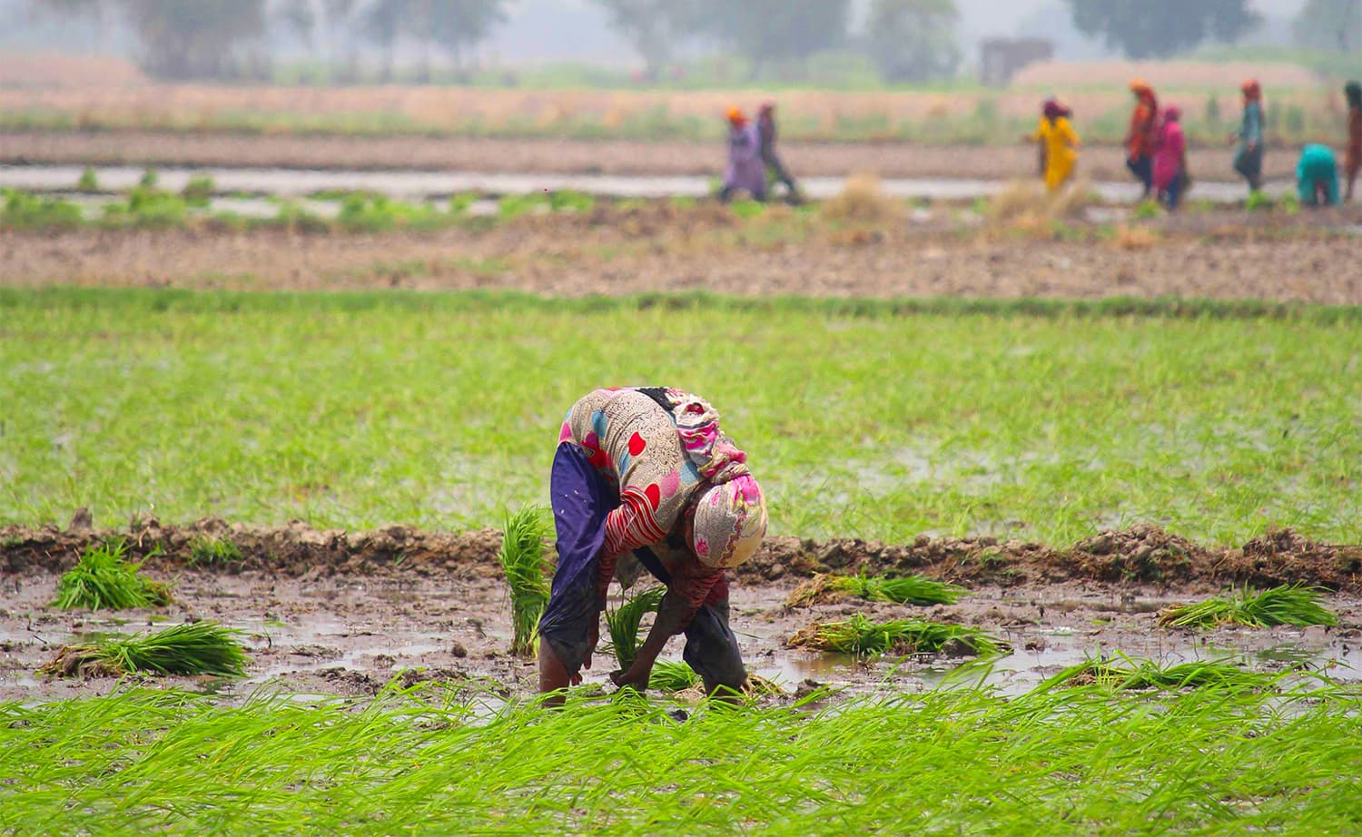 Women work in harsh conditions, for minimum wages in rice fields across Punjab. — Photos by Ahsan Mahmood.