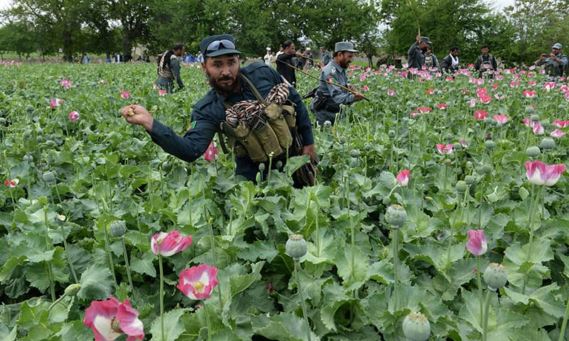 Afghan security personnel seen destroying an illegal poppy crop in the Surkh Rod district of eastern Nangarhar province.─AFP