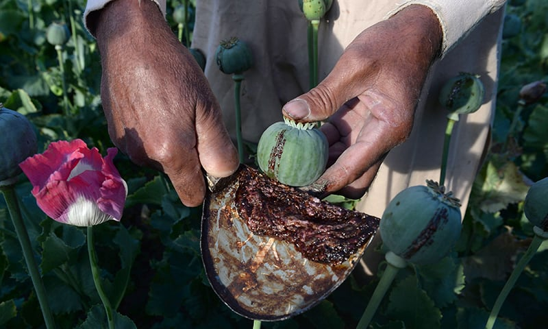 An Afghan farmer seen harvesting opium sap from a poppy field in the Surkh Rod district of Nangarhar province.─AFP