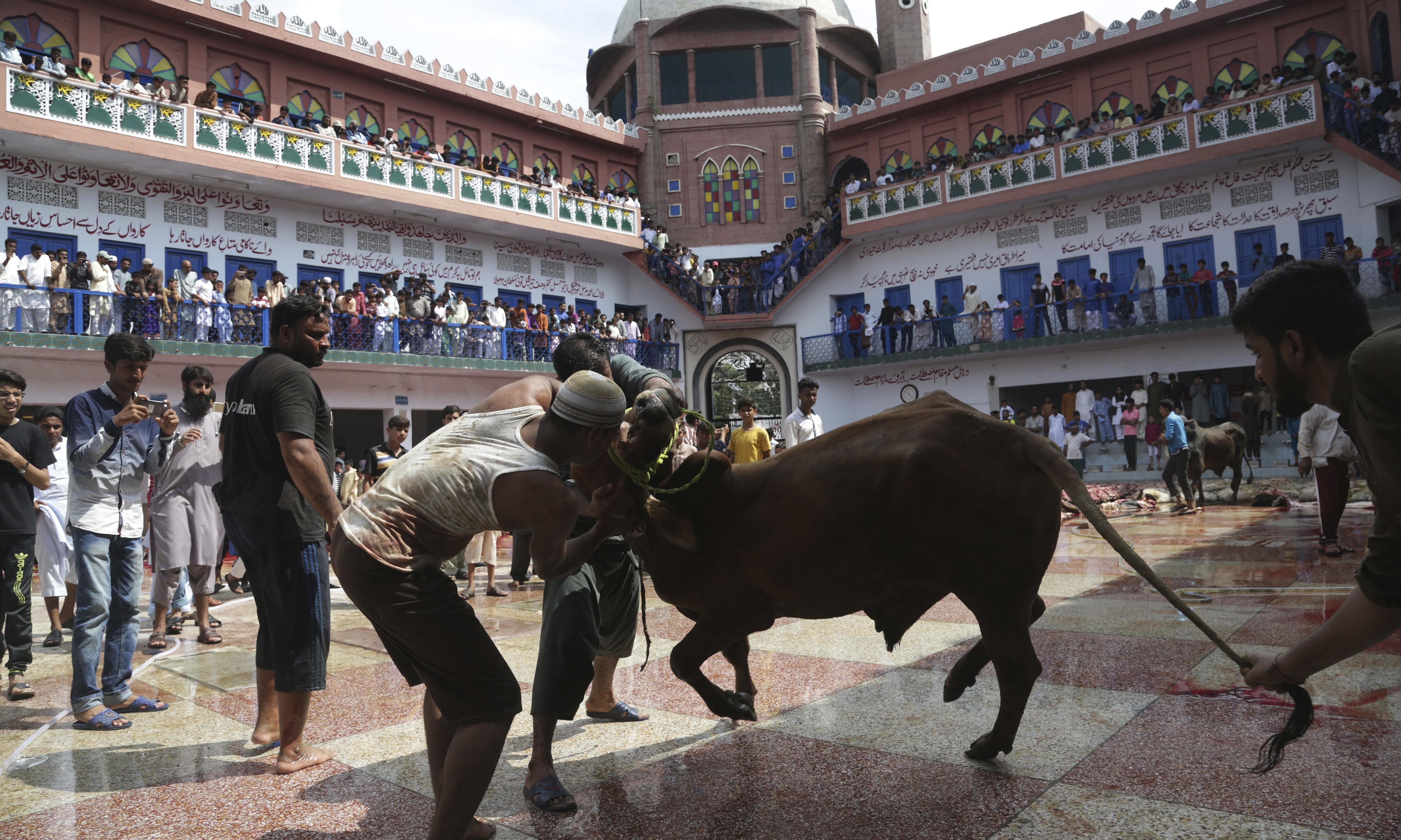 Pakistani butchers prepare to slaughter an animal on the first day of Eidul Azha. —AP