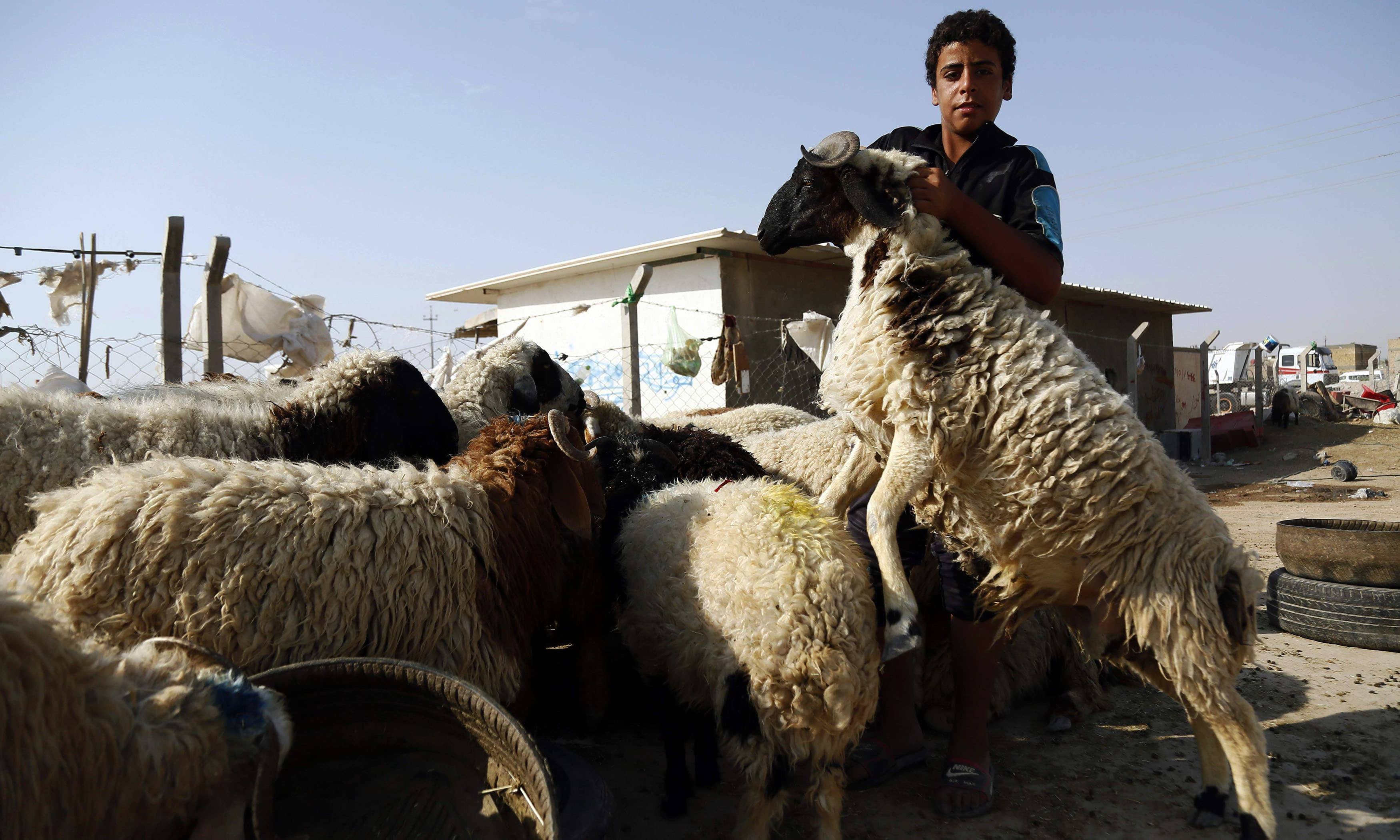 A young man hugs a sheep as they both await buyers on the final day of Eid celebrations in Iraq. — AFP