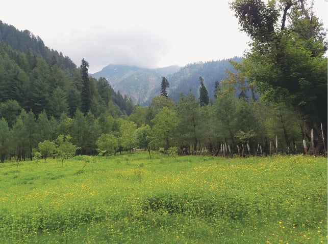 A field of yellow buttercups in the Beyari meadow, surrounded by mountains
